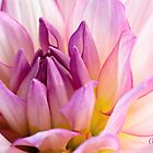 Pink Dahlia 2 by Anita  Pollak