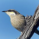 Singing Honeyeater by Robert Elliott