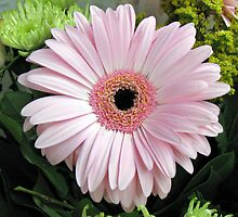 Pretty Pink Petals - Gerbera Delight by kathrynsgallery