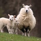 Sheep with young Lambs, Brecon Beacons (South Wales) by Michael Field