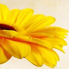 Soft Gerbera by Tracy Friesen