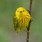 Yellow Warbler by Wayne Wood