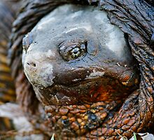 common snapping turtle by Christian Hunold