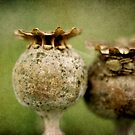 grungy poppy seed heads by Clare Colins