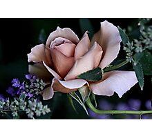 'Julia's Rose & Nepeta...' Photographic Print