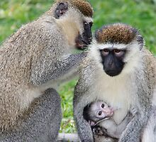 Family of Vervet Monkeys, Uganda by Hannah Nicholas