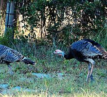 Wild Turkey by joevoz