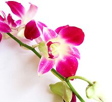 Purple Orchid  by Anaa
