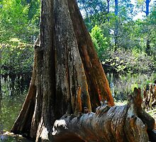 Cypress Tree on the Water by joevoz