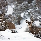 Winter Mule Deer, Colorado by Brian Healy Photography