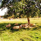 Sheep sleeping in the shade of the only tree..... by Smaragd