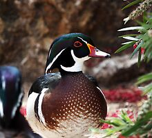 Carolina Duck by Mauro Rodrigues