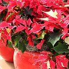 A pot of Jingle Bell Poinsettia&#x27;s by tdash