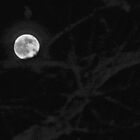 moon and tree by Veronica Timpanelli