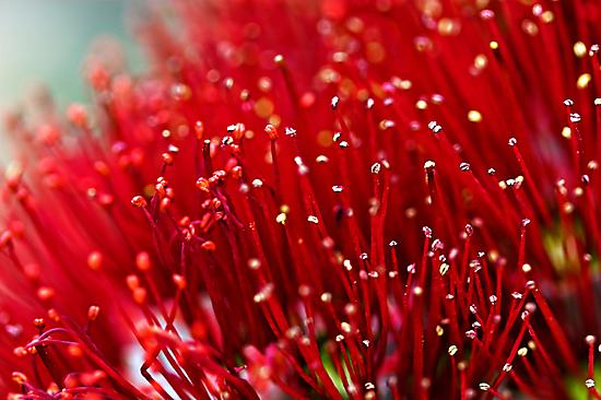Pohutukawa Flower by Robyn Carter