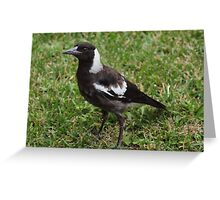 Juvenile Australian Magpie! Greeting Card
