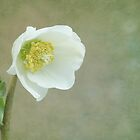 Helleborus niger by Iris Lehnhardt