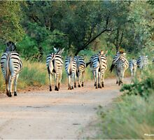 THIS IS THE WAY! - BURCHILLS ZEBRA - Equus burchelli  by Magaret Meintjes
