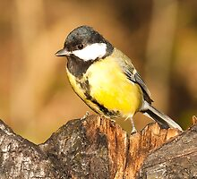 Great  Tit  by Elaine123