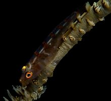 Whip Coral Goby by Todd Krebs