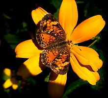 Pearl Crescent Butterfly by Thomas Young