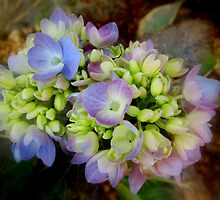 Hydrangea in December by Debbie Robbins