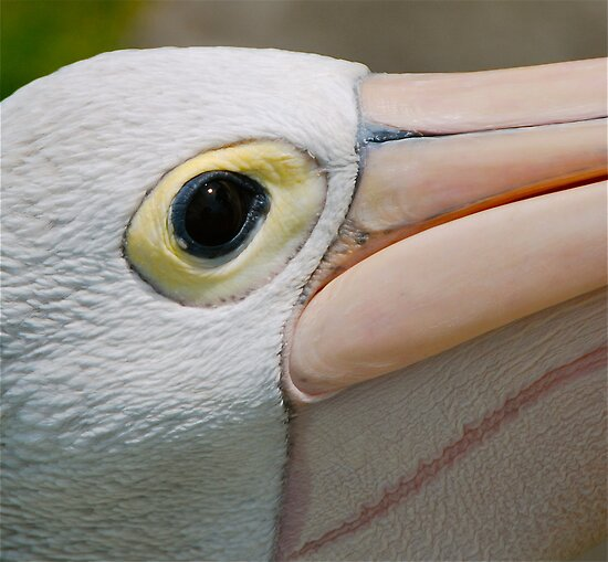 Pelican Eye Spy by Penny Smith