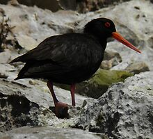 Sooty Oystercatcher (Haematopus fuliginosus) - Coffin Bay, South Australia by Dan & Emma Monceaux