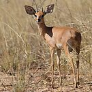 Steenbok by Will Hore-Lacy