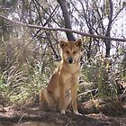 Frazer Dingo by Lyn Green