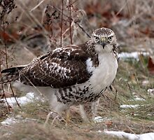 Grounded / Red Tail Hawk by Gary Fairhead