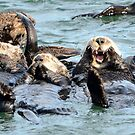 A Raft of Sea Otters by wildlifist