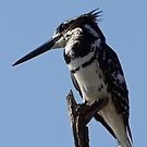 Pied Kingfisher by Will Hore-Lacy