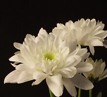 White flowers by Colin Bentham