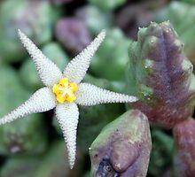 Stepelia Star by Antionette