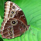 Peleides Blue Morpho by Lepidoptera