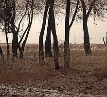 Cottonwoods 3 by David  Postgate