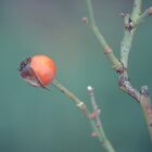 Rose Hip by Joseph O'R.
