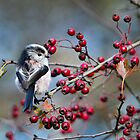 Long Tailed Tit by Jennie Anderson