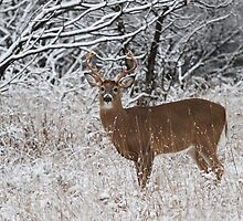 White-tailed Buck in Snow by Jim Cumming