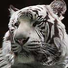 White Tiger by Ray Chiarello