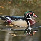 A Wood Duck & His Reflection by Kathy Baccari