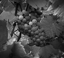Pinot Noir by awiseman