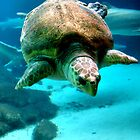 swimming seaturtle by Sandy Maya Matzen