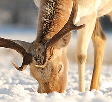 Foraging in the snow by davediver