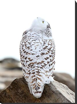 Keep Watching the Skies - Snowy Owl by Jim Cumming