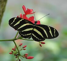 Beautiful Butterfly with Stripes on flowers by vikpuma