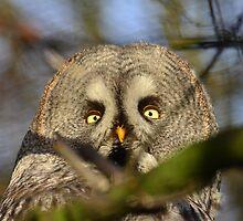 Great Grey Owl by Jacqueline van Zetten