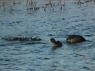 Chow Time for Coots by Deb Fedeler