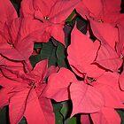 Flor de Nochebuena by Fara